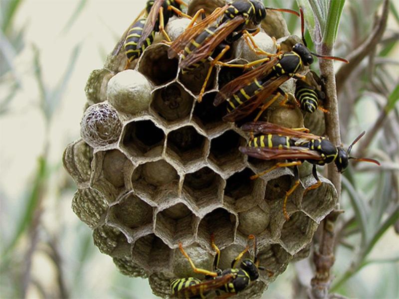 Шмель - ядовитые насекомые   описание, фото и видео