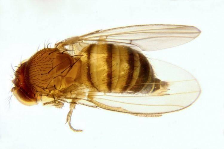 Муха плодовая, или дрозофила: методы борьбы с ней — насекомые вредители
