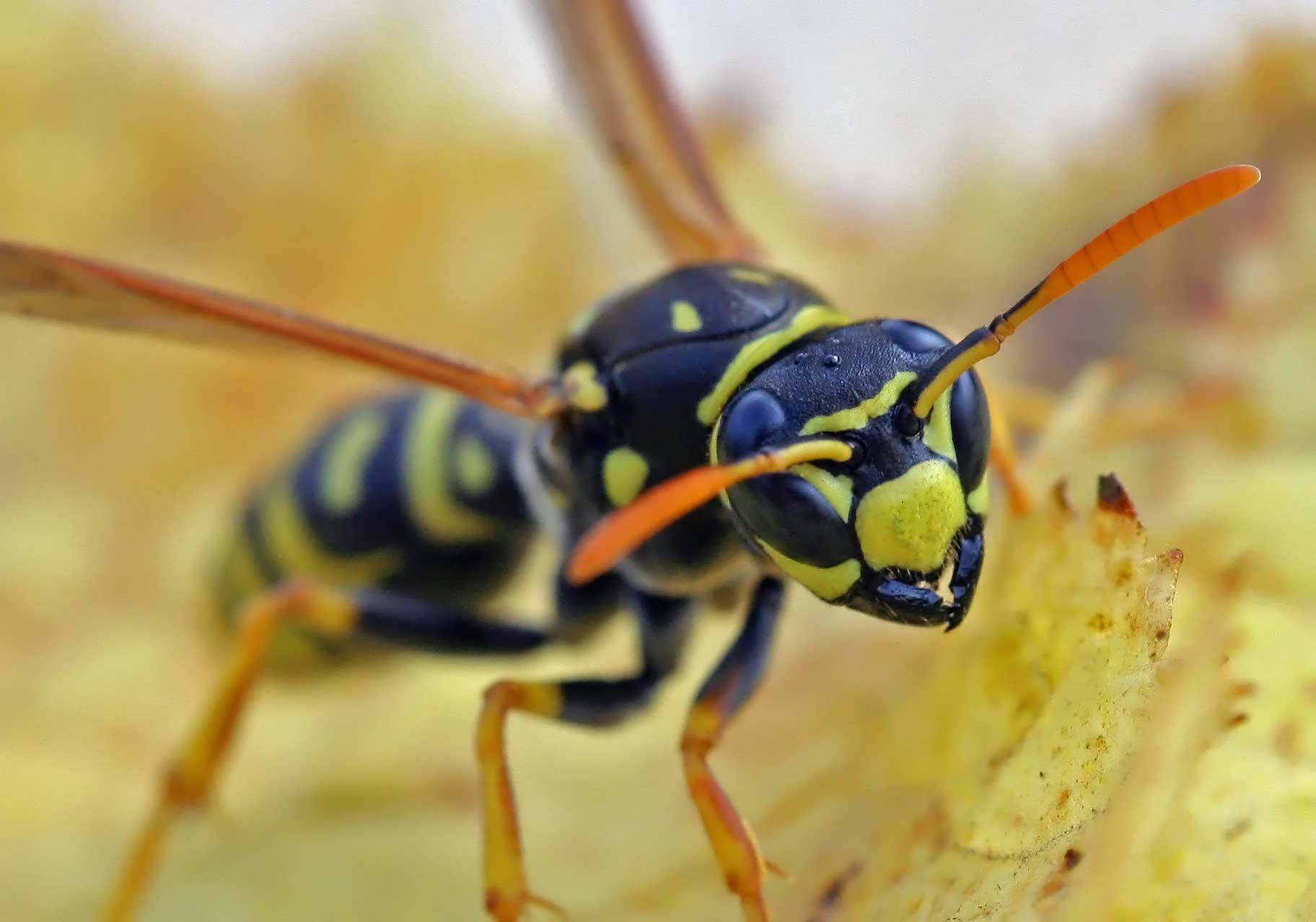 Есть ли какая-то польза от укуса осы или только вред?