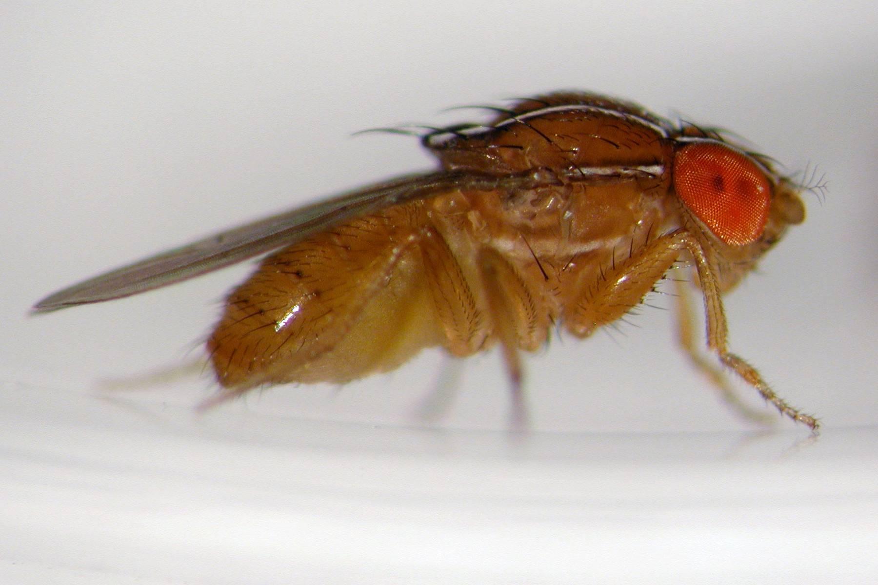 Как избавиться от мухи дрозофилы в доме. чем травить мошек. профилактика появления дрозофил.