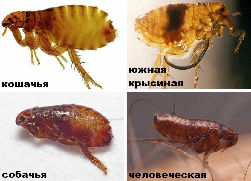 Бывают ли у хомяков блохи: как выводить у джунгарских, сирийских и других видов, что делать, если появились паразиты