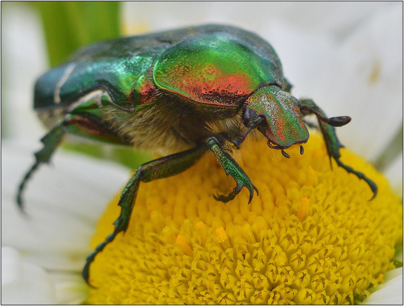 Большой зеленый блестящий жук бронзовка