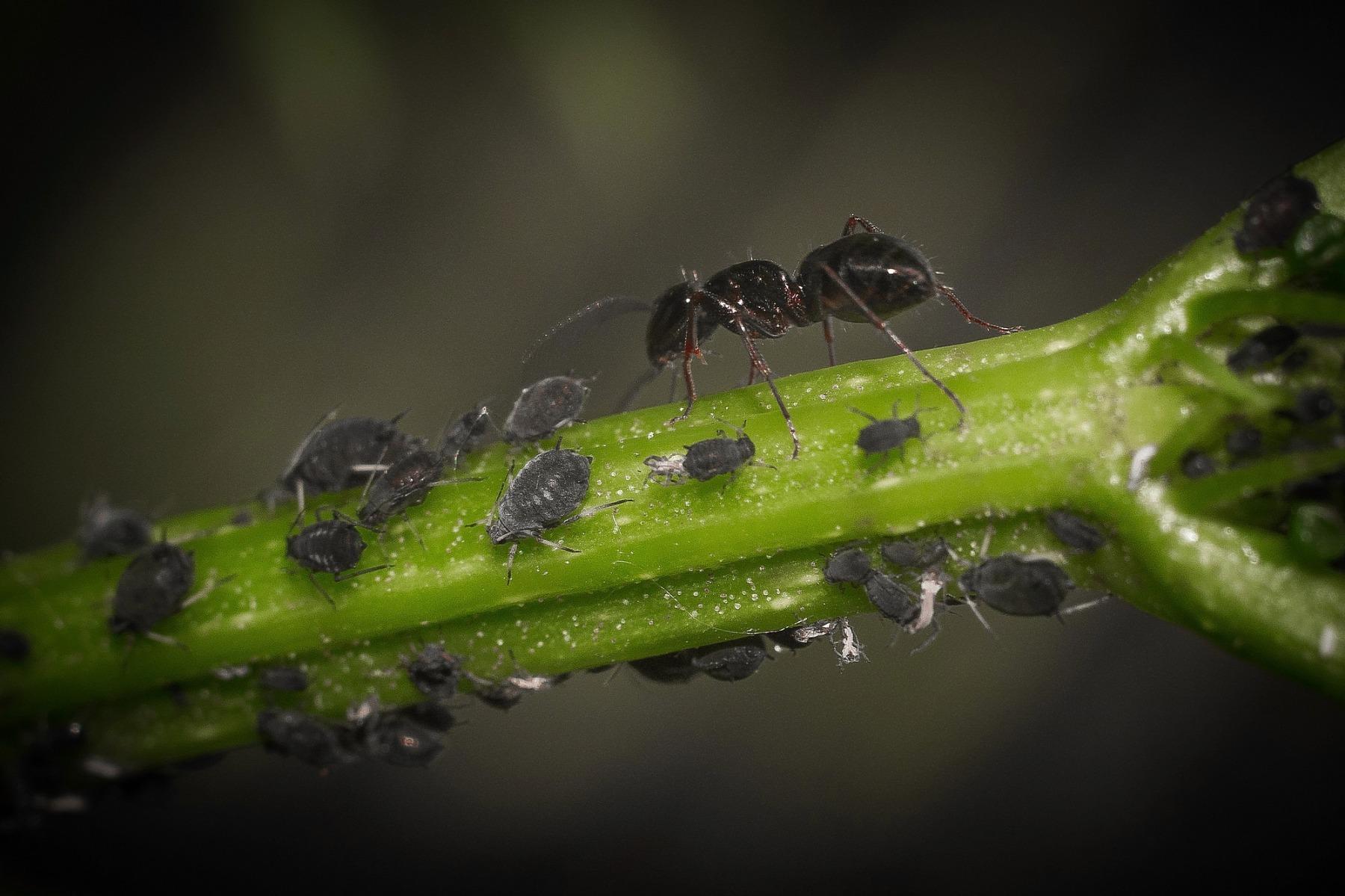 Не только вредитель: интересные факты о тле и фото, как выглядит это насекомое