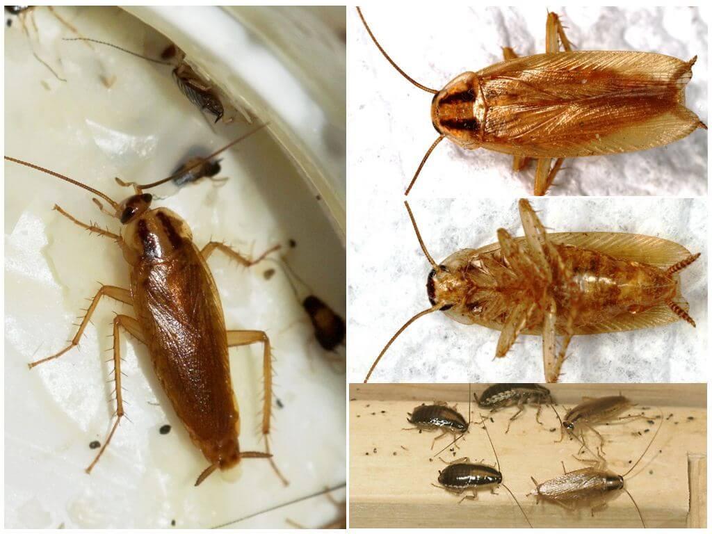 Как выглядят различные виды тараканов и как их отличать