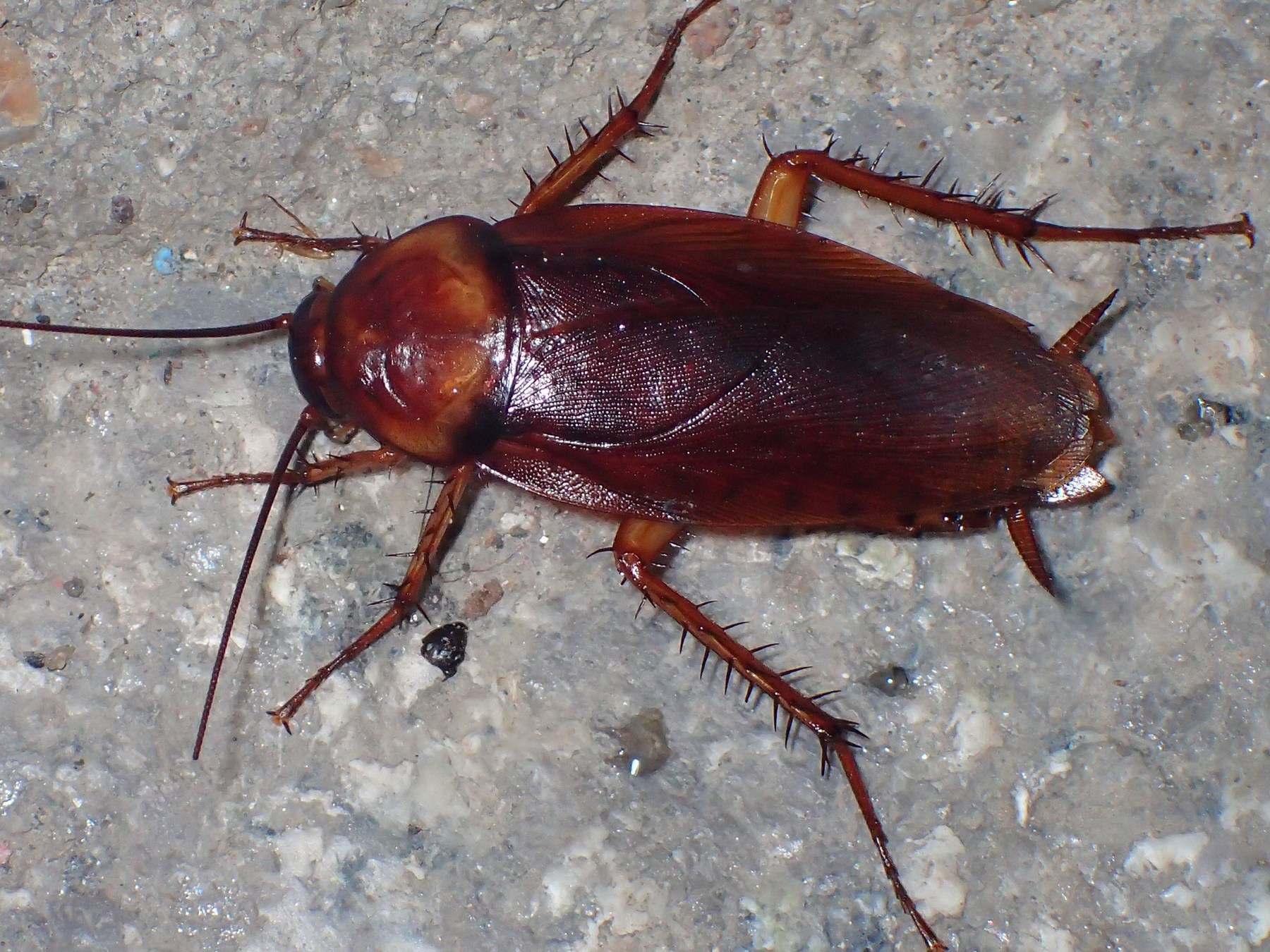 Американский таракан – космополит мира насекомых