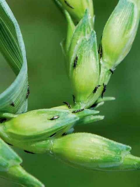 Haplothrips tritici: внешний вид и жизненный цикл вредителя зерновых культур
