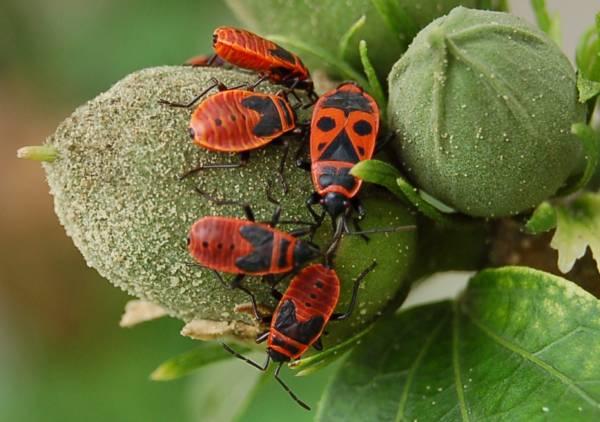 Кто он клоп-солдатик: безобидное насекомое или опасный вредитель? чем вреден и как вывести