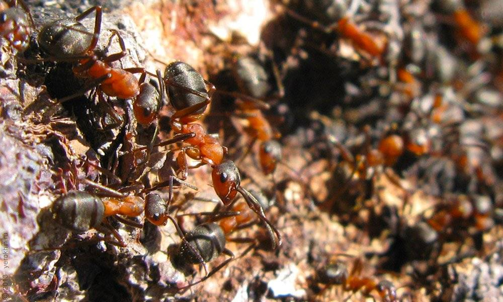 Сделай пользу, сожги муравью обоняние или чего боятся муравьи в квартире