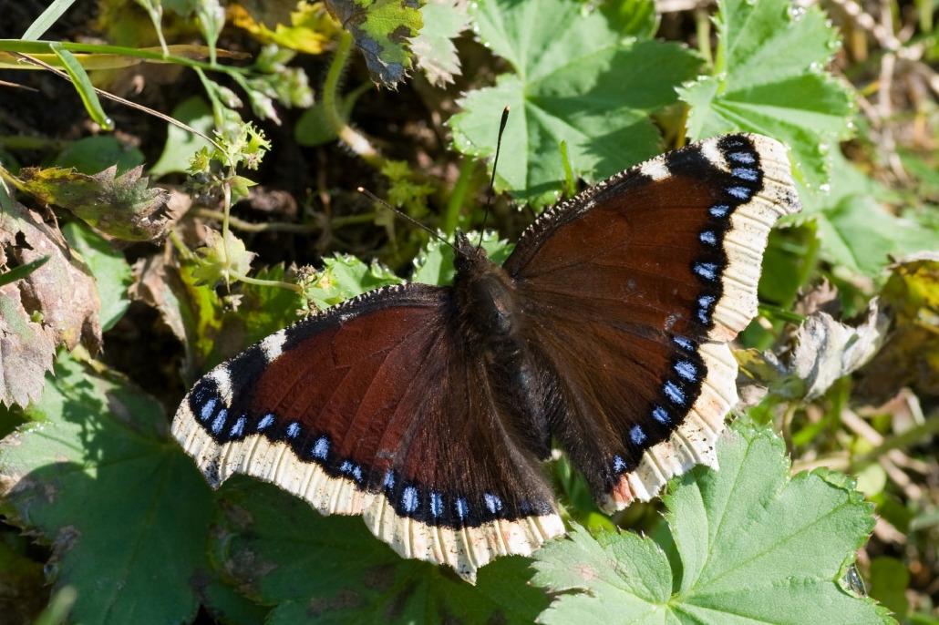 Бабочка пеструшка - описание, среда обитания, виды