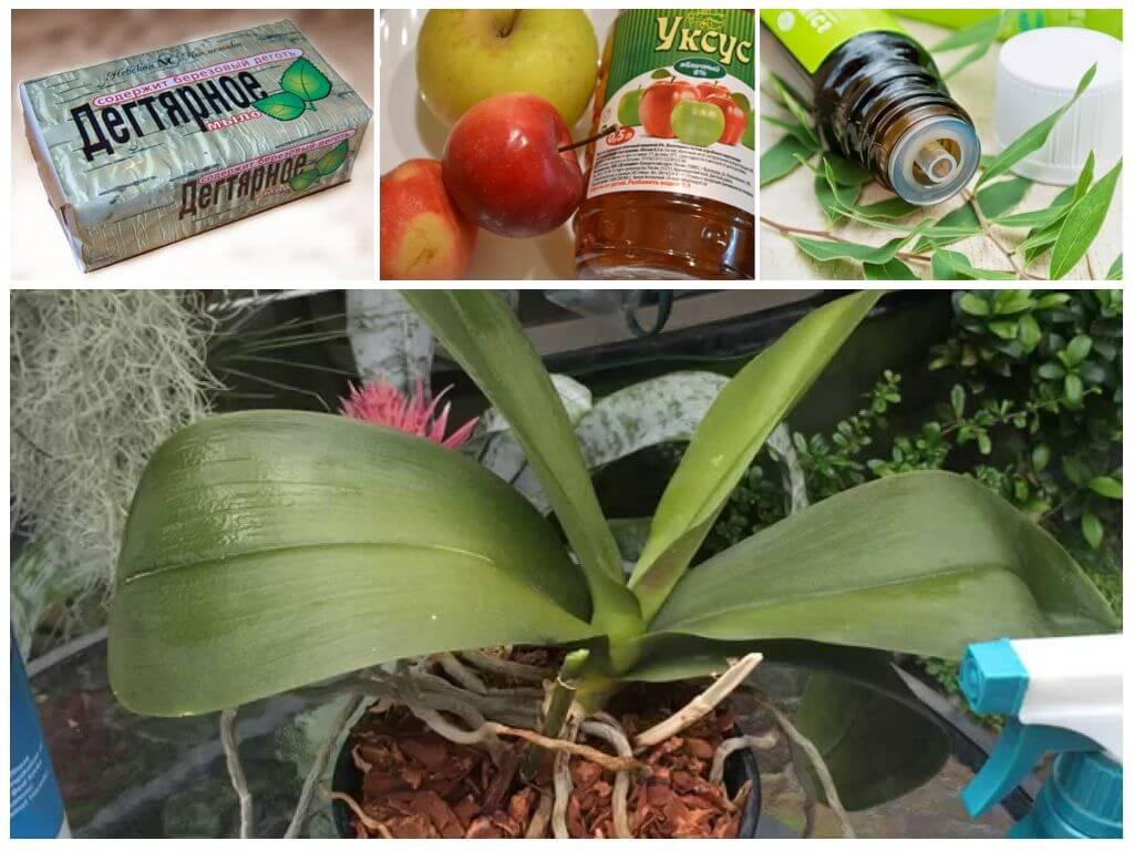 Вредители орхидей и борьба с ними: как избавиться от паразитов в горшке фаленопсиса и вылечить грибковые заболевания грунта (почвы), а также фото