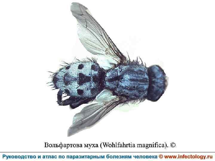 Чем опасна лосиная муха