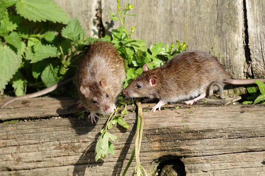Кудрявые крысы «рексы» — особенности породы