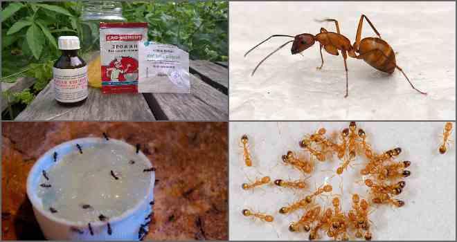 Правила использования борной кислоты от муравьев