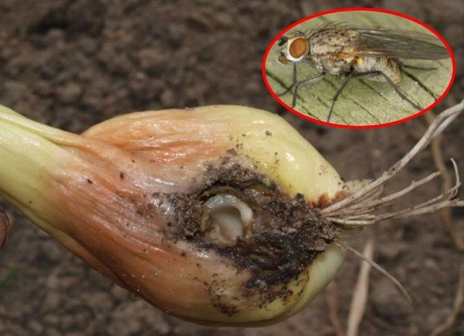Луковая муха — горе луковое