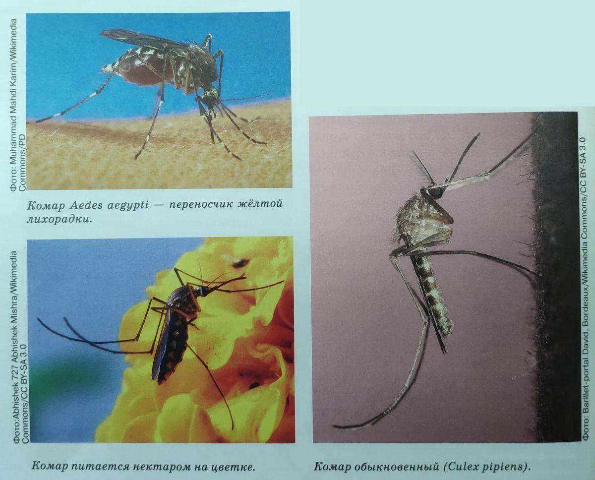 Сколько дней живет комар обыкновенный в квартире после укуса человека
