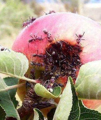 Муравьи на яблоне: что делать, чем обработать, как защитить