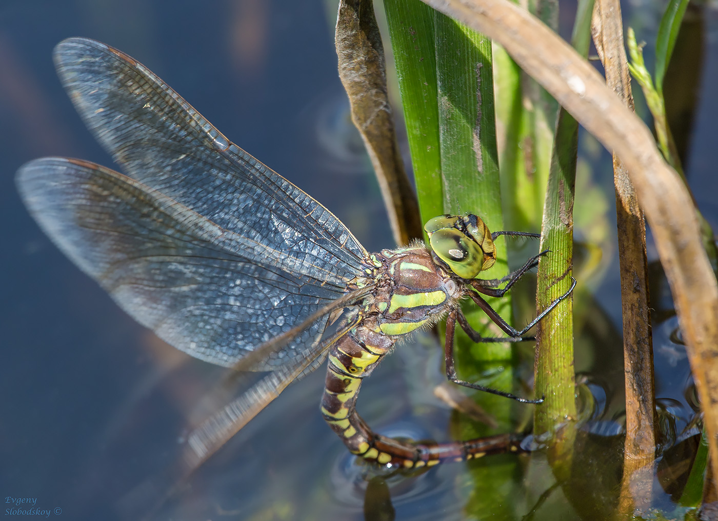 Стрекоза: фото, описание, виды насекомого из прошлого. место древних созданий в современном мире