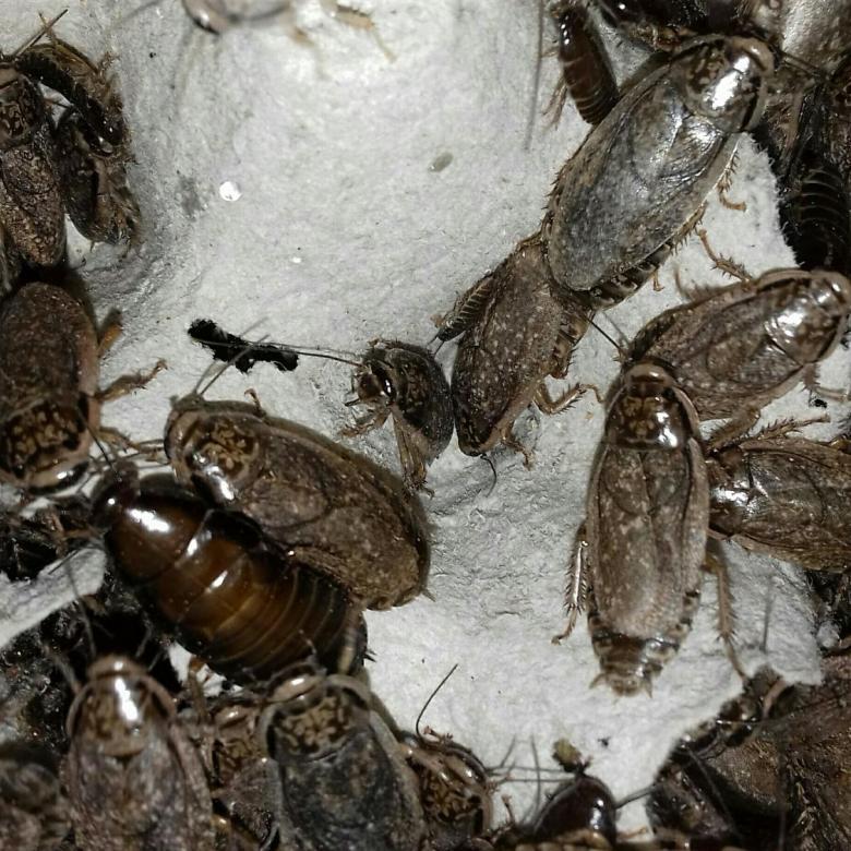 Чем кормить тараканов и что едят американские тараканы