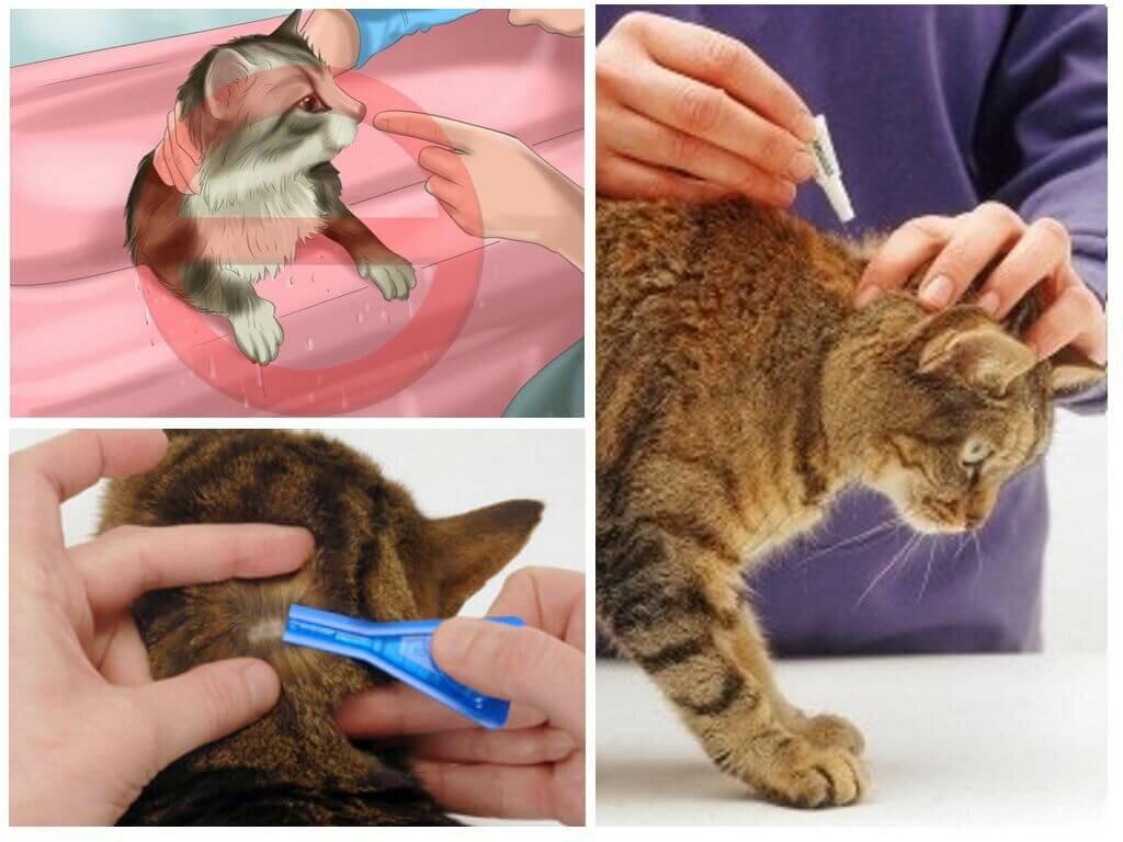 Выведение блох у котят в домашних условиях