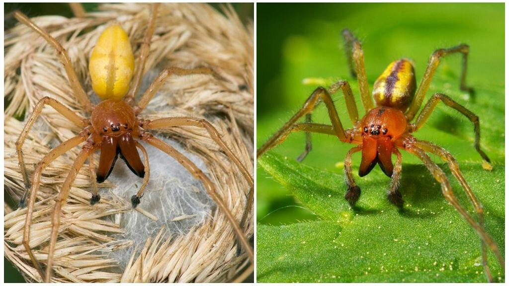 Жителей запорожской области покусал один из самых ядовитых пауков на планете (фото)