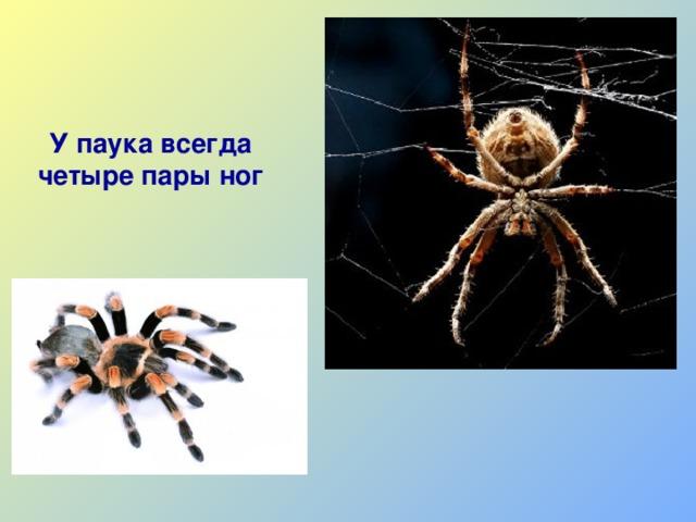 Сколько лап у паука, сколько из них ходильных? какими ещё функциями обладают?