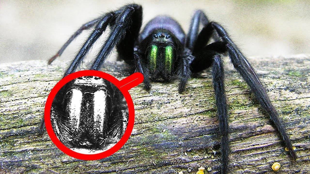 Ядовитые пауки