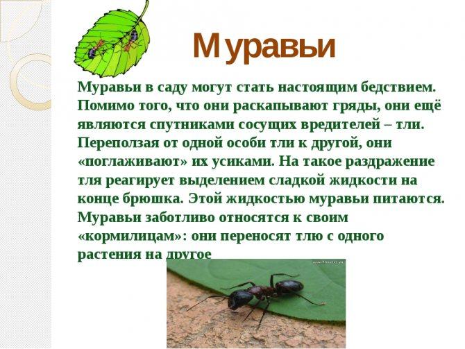 Какую пользу могут принести муравьи на участке