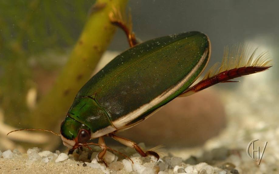 Жук плавунец окаймленный: секреты подводной жизни хищного насекомого