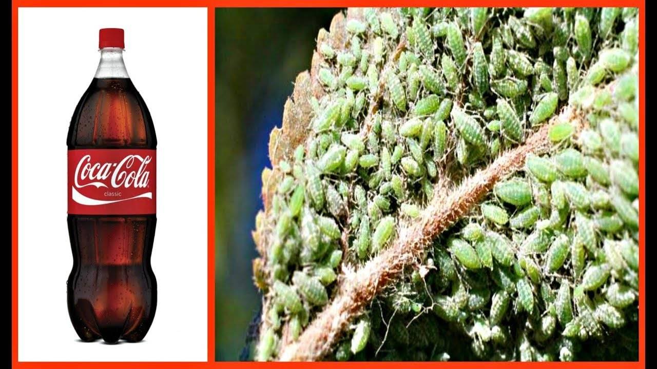 Газировка кока-кола в борьбе с тлей и муравьями