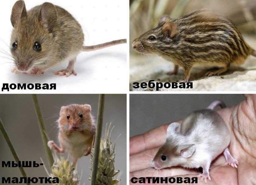 Сколько живут мыши? продолжительность жизни домашних и диких мышей