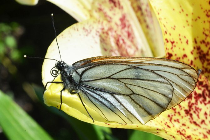 Боярышница: бабочка-вредитель, фото и описание selo.guru — интернет портал о сельском хозяйстве
