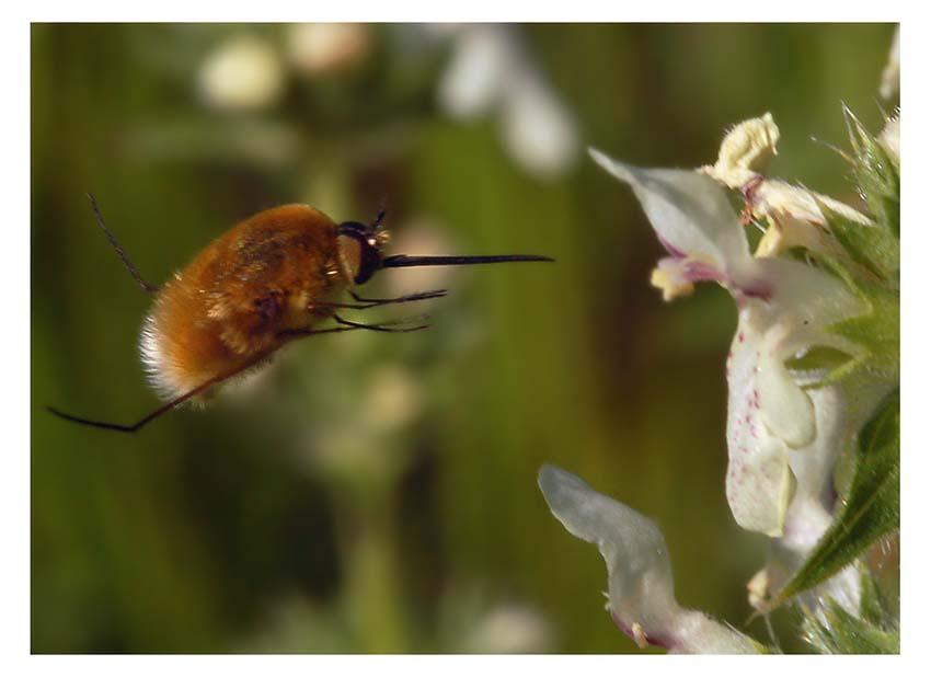 Жук красотел пахучий: чем питается и как живет насекомое