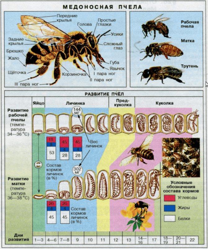 Медоносная пчела. ее виды, развитие, содержание