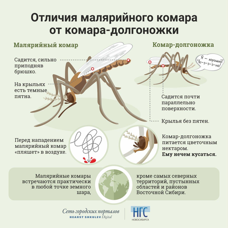 Комар-пискун: описание и фото. самые любопытные виды комаров – опасные малыши и безвредные гиганты