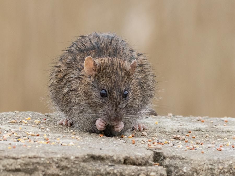 Декоративные домашние крысы