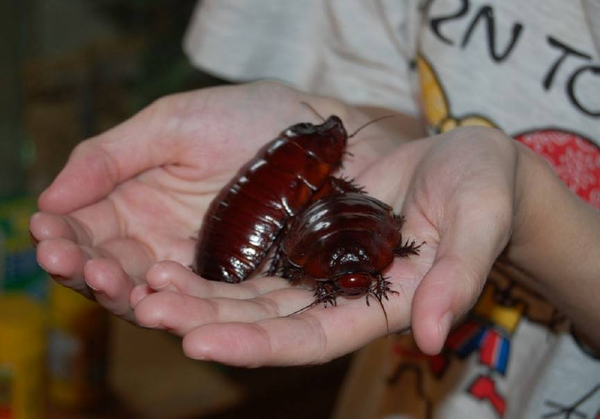 Таракан-носорог, или гигантский роющий таракан | мир животных и растений