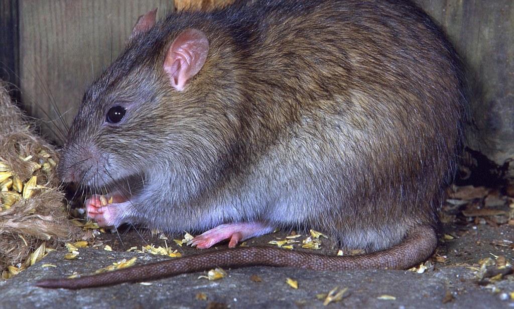 Серая крыса — неприятный и опасный грызун