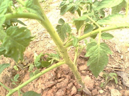 Белые мошки на помидорах — как избавиться?
