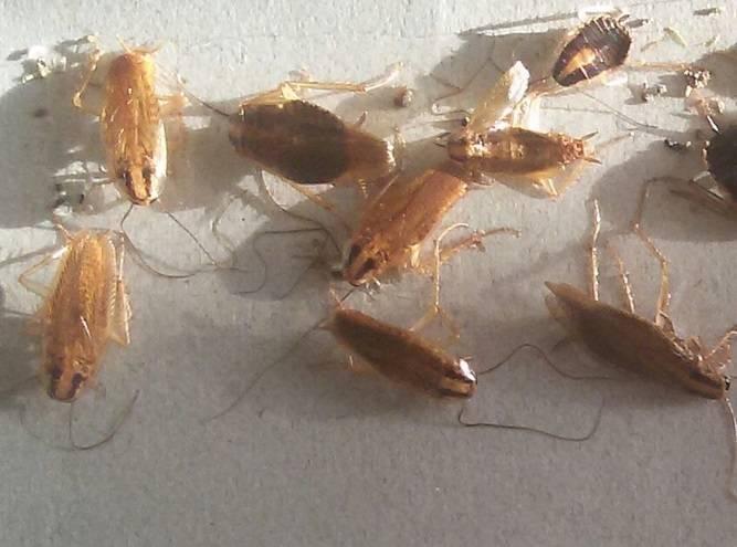Летают ли тараканы домашние – зачем им крылья