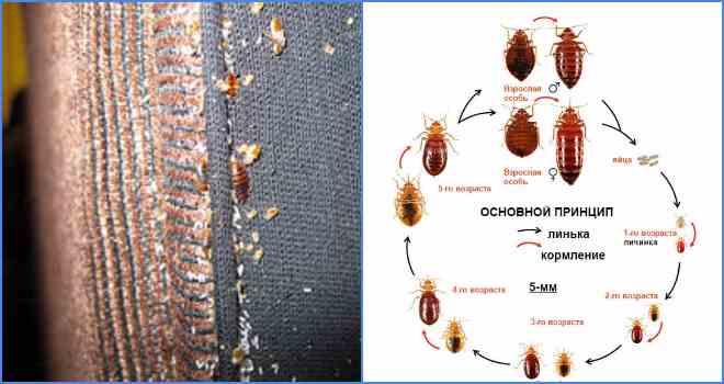 При какой температуре умирают клопы? / как избавится от насекомых в квартире