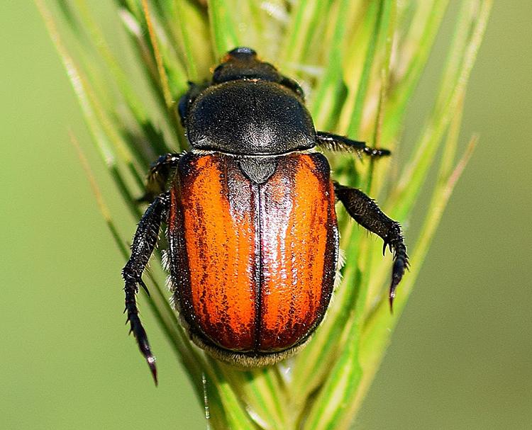 Жук кузька: описание развития, меры защиты от насекомого