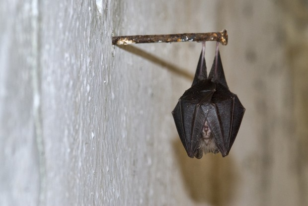 Летучая мышь залетела в квартиру: что делать, как выгнать ее из дома ночью