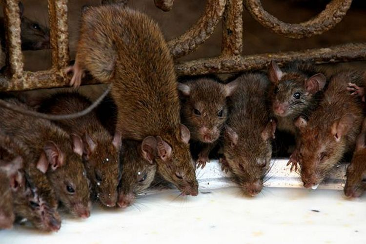 Сколько живут крысы: дикие и домашние, от чего зависит продолжительность жизни грызунов