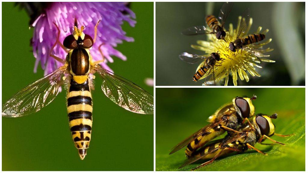 Мясная муха – вред или польза?