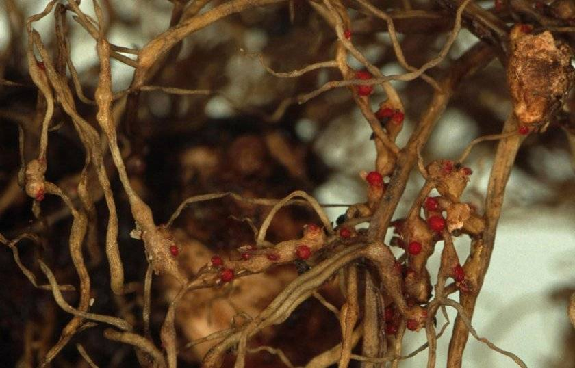 Как бороться с нематодой земли: народные рецепты, химикаты и сидераты
