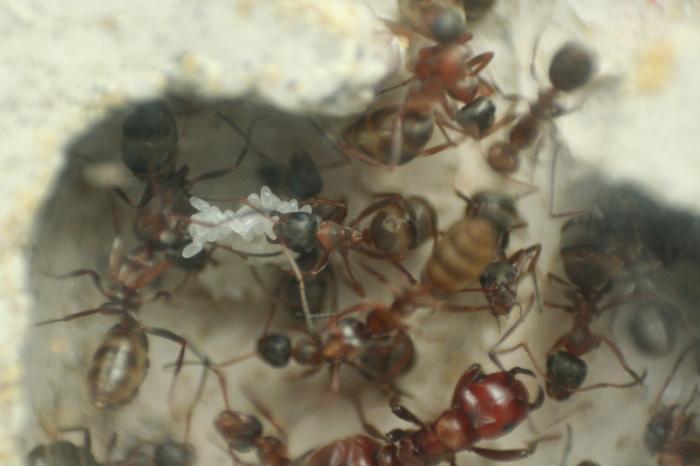 Где и как зимуют муравьи?