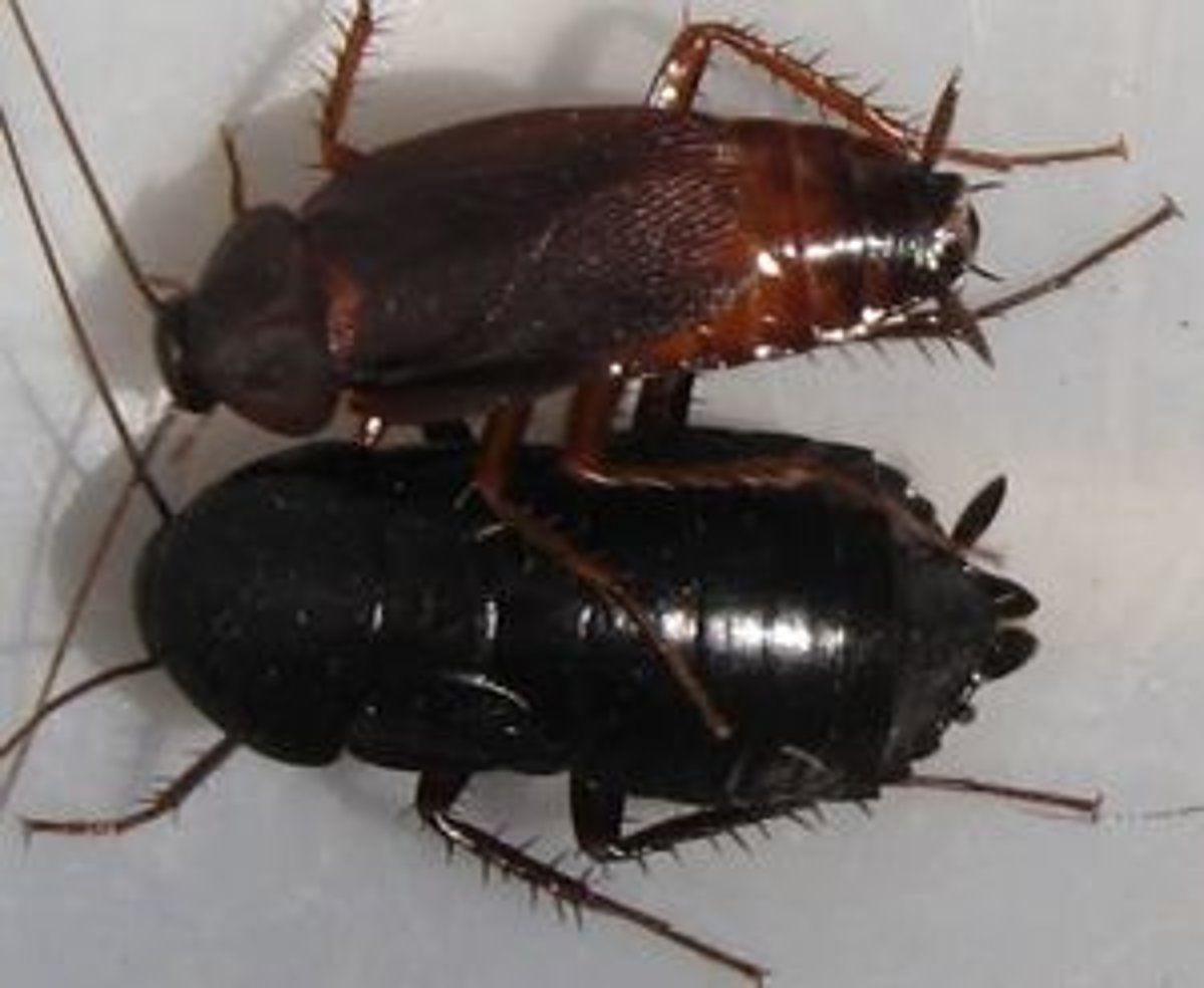 Как избавиться от черных канализационных тараканов