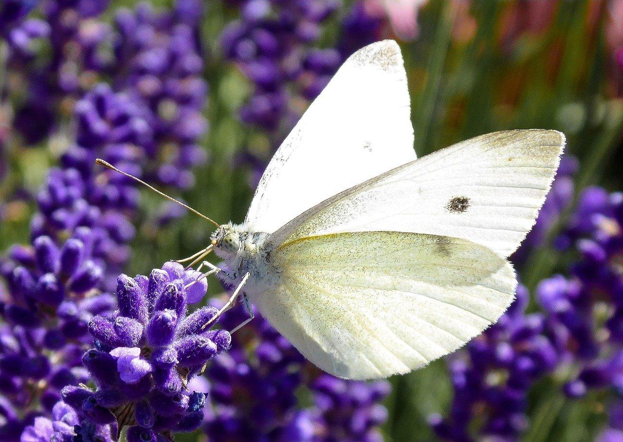 Бабочка капустница – опознать и обезвредить!