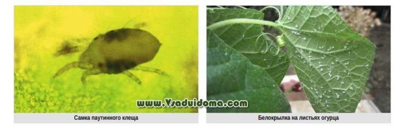 Тля на помидорах: как бороться и эффективно избавиться от вредителя