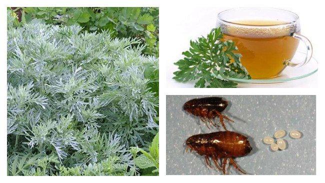 Полынь от блох в квартире - народные рецепты из травы для эффективной борьбы в домашних условиях